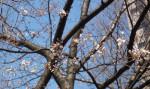 次々と開花するわが町の「陳情桜」