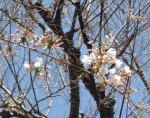 ソメイヨシノの桜っぷりを堪能しましょう