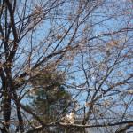 植栽から10年見事に成長した「陳情桜」です