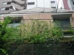 テラスから屋上へ向けて伸び続けるゴーヤや朝顔の蔓、緑のカーテンです